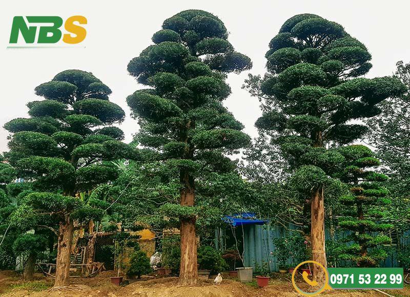 Tùng la hán là loại cây thân gỗ và có lá xanh quanh năm