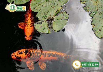 Mẫu hồ cá Koi ngoài trời đẹp nhất